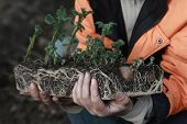 image of briquette  - A man holds a peat briquette sprouted potatoes - JPG