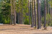 stock photo of coniferous forest  - remnants of snow in the spring coniferous forest - JPG