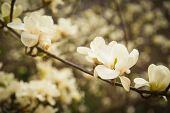 image of magnolia  - magnolia plant with flowers in city park - JPG