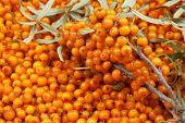 picture of sea-buckthorn  - orange  sea - JPG