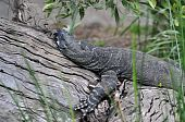 stock photo of goanna  - Large grey goanna sleeping on a log - JPG
