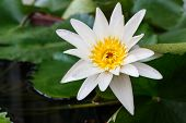 stock photo of water lilies  - white leaf lotus flower on water with yellow center water lily - JPG