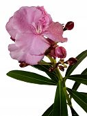 stock photo of oleander  - Red Oleander isolated on a white background - JPG