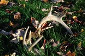 Antlers Laying In Grass And Leaves