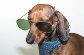 stock photo of dachshund dog  - Red dachshund dog with sun glasses or bow tie scarves Red dachshund dog with sun glasses or bow tie handkerchiefs over wooden table - JPG