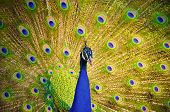 stock photo of female peacock  - An Indian peafowl is spreading it - JPG