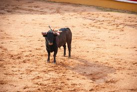 stock photo of bullfighting  - Bull in bullfight arena during bullfights Portugal - JPG