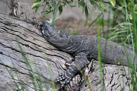 picture of goanna  - Large grey goanna sleeping on a log - JPG