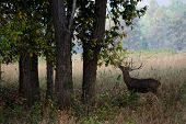 stock photo of deer family  - barasingha also called Swamp Deer  - JPG