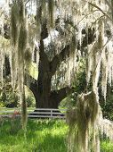 Spanish Moss On Oak