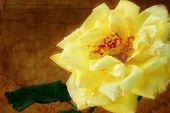 Rosa amarilla Grungy