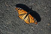 Monarch On Gravel