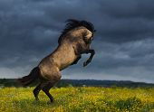 Purebred Andalusian horse rear on blossoming meadow with dramatic overcast skies poster