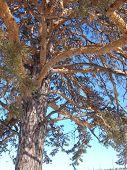 Un pino contra el cielo azul