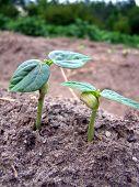 New Pea Plants