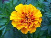 Brightly Colored Marigold