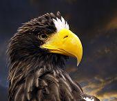 Eagle Portrait poster