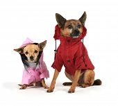 two small dogs dressed up in jackets