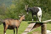 Two Nanny-Goat