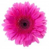 Purple gerbera flower closeup. Isolated on white
