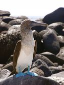 stock photo of blue footed booby  - a blue footed booby standing on a lava rock in the galapagos islands - JPG