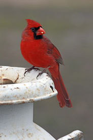 pic of cardinal-bird  - Cardinal perched on a old milk container.  - JPG