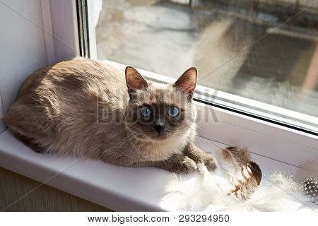 poster of Bird Hunting. The Cat Is A Hunter. Gray Siamese Cat Sitting Near The Window On The Windowsill Next T