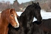 stock photo of shire horse  - Horses in a cold winter pasture - JPG