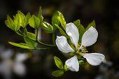 Poncirus Trifoliata poster