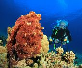 A senior citizen Scuba Diver approaches an Octopus to take an Underwater Photograph