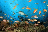 Coral Reef with a variety of Tropical Fish: Anthias, Pufferfish and Cardinalfish