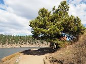 A Pine Tree Stands By A Walking Path Around Evergreen Lake In Evergreen, Colorado. poster