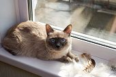 Bird Hunting. The Cat Is A Hunter. Gray Siamese Cat Sitting Near The Window On The Windowsill Next T poster