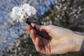 Cherry Flowers Bunch In Hand