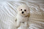 Bichon Frise Dog. Purebred Bichon Frise Dog. A sweet white puppy dog on a white bed sheet. Bichons a poster