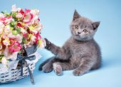 Scottish Straight Kitten. The Kitten Touches The Paw To The Flowers poster