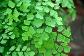 Beautiful Maidenhair Fern