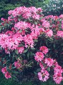 Rhododendron Plants In Bloom With Flowers Azalea Bushes In The Park. Rhododendron Plants In Bloom. poster