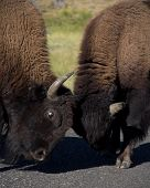 foto of lamar  - Bison Sparing in Yellowstone National Park in Lamar Valley - JPG