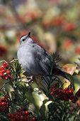 Gray Catbird (Dumetellia Carolinensis)