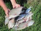 Fishing Catch - Breams
