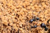 picture of formica  - Soldier ant formica in anthill - JPG