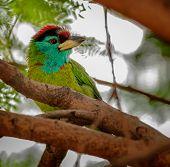 Pájaro azul-throated Barbet encaramado en una rama de árbol