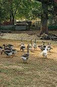 Domar gansos no Barnyard