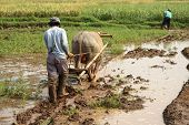 Rice Field Worke