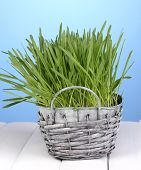 Green grass in basket on wooden table on blue background