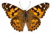 Butterfly Species Vanessa Cardui