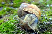 garden snail in the grass