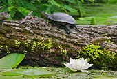 stock photo of terrapin turtle  - Terrapin is sitting in a fallen tree on a river - JPG