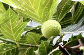 Zoom A Breadfruit On The Tree.